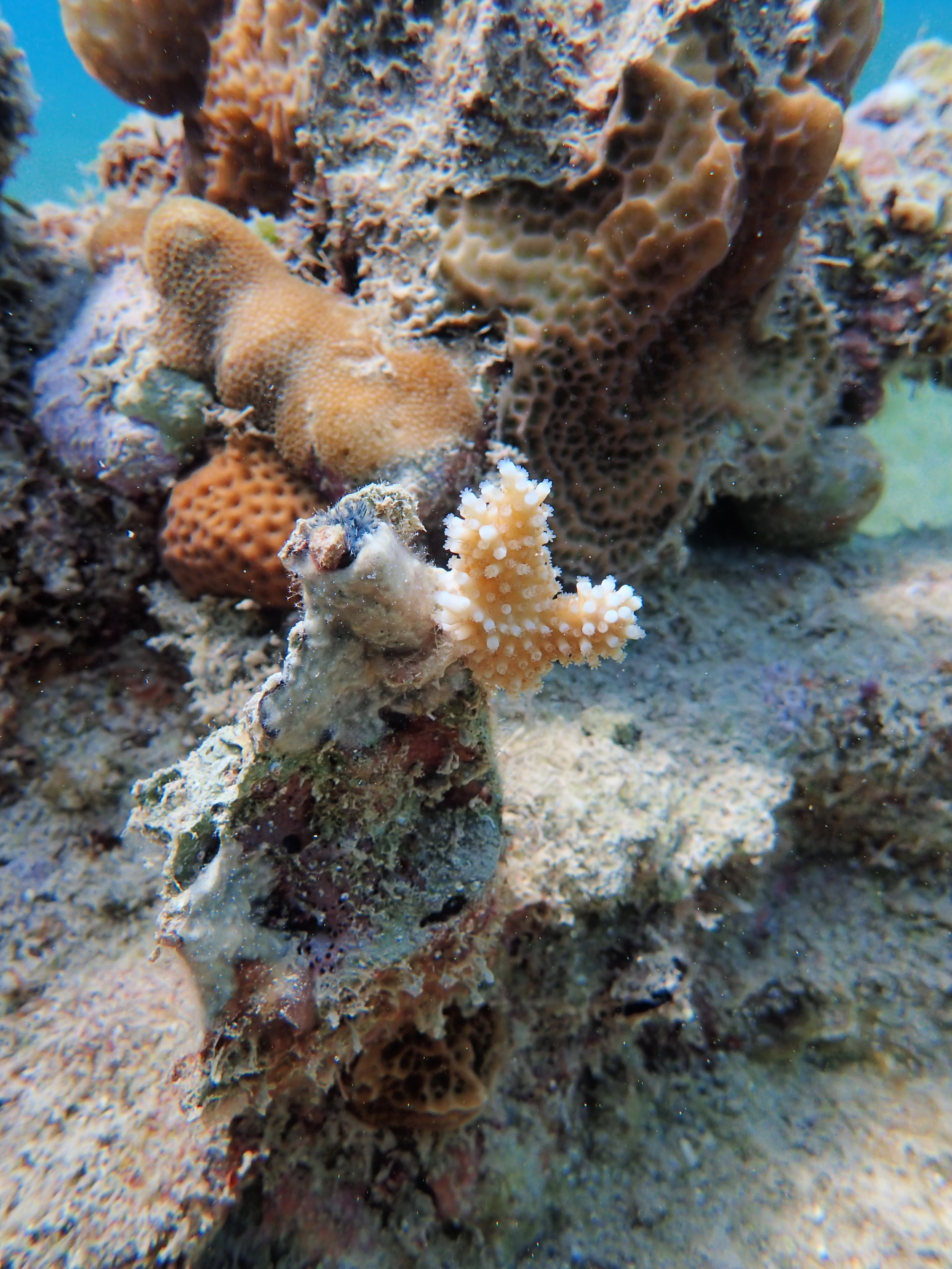Young Staghorn coral transplant