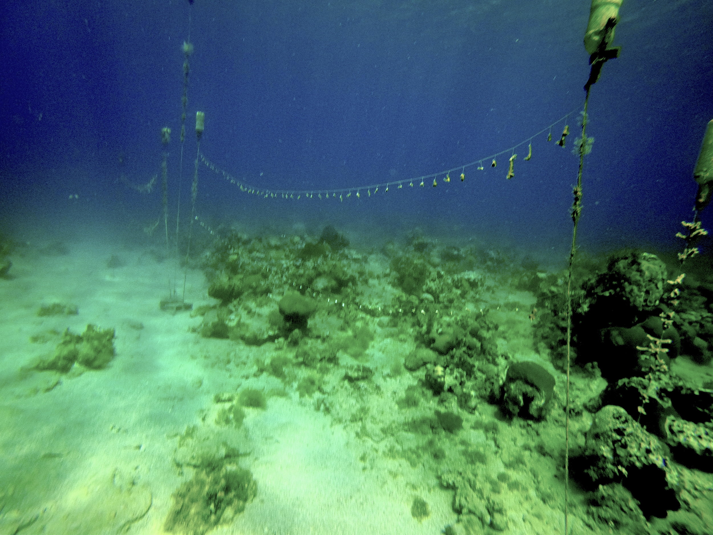 Coral nubbins suspended by fishing line between floating buoys, Round Hill Reef, Jamaica