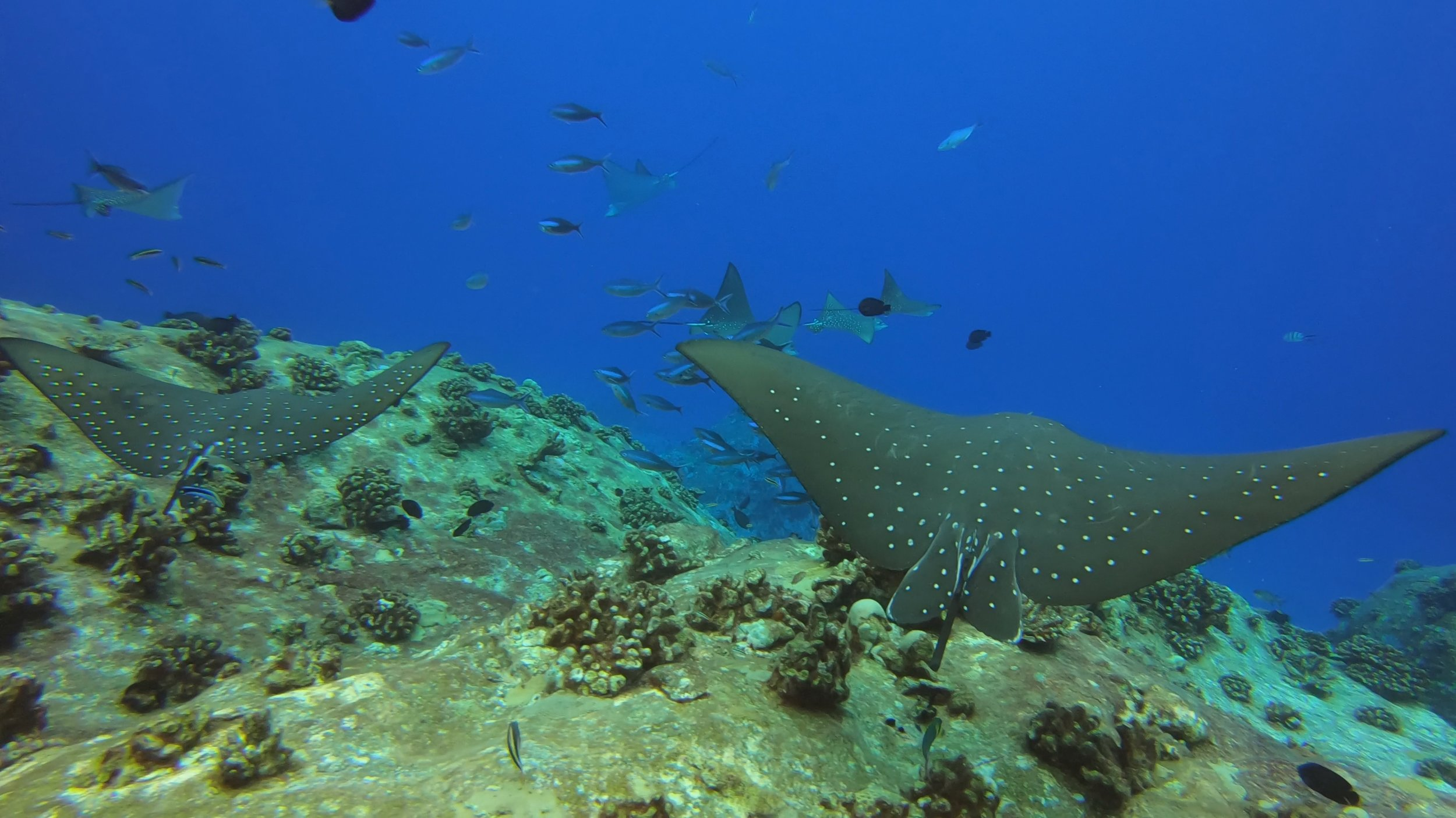 Eagle Rays Close-Up - Offshore Seychelles