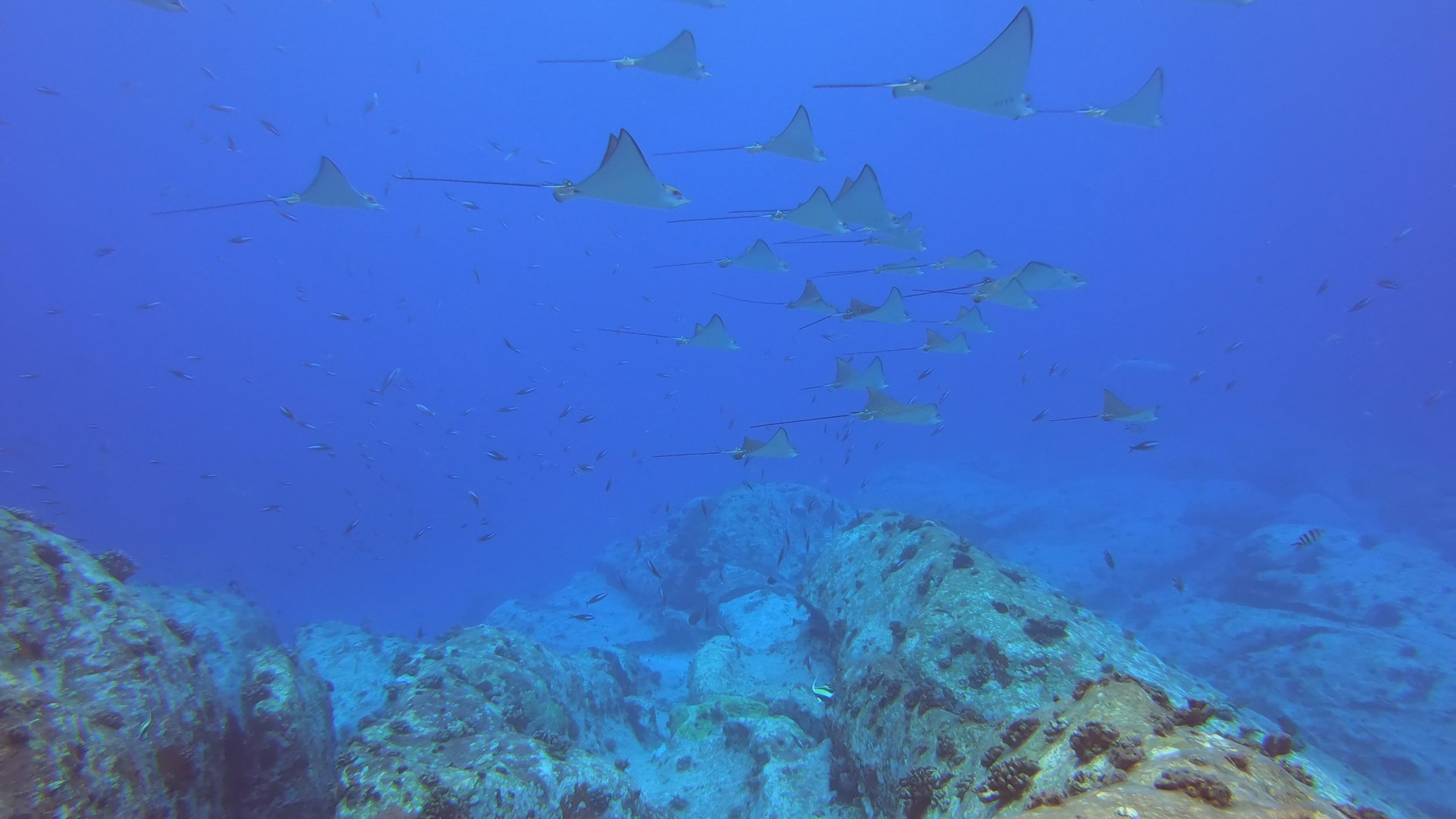 School of Eagle Rays - Offshore Seychelles