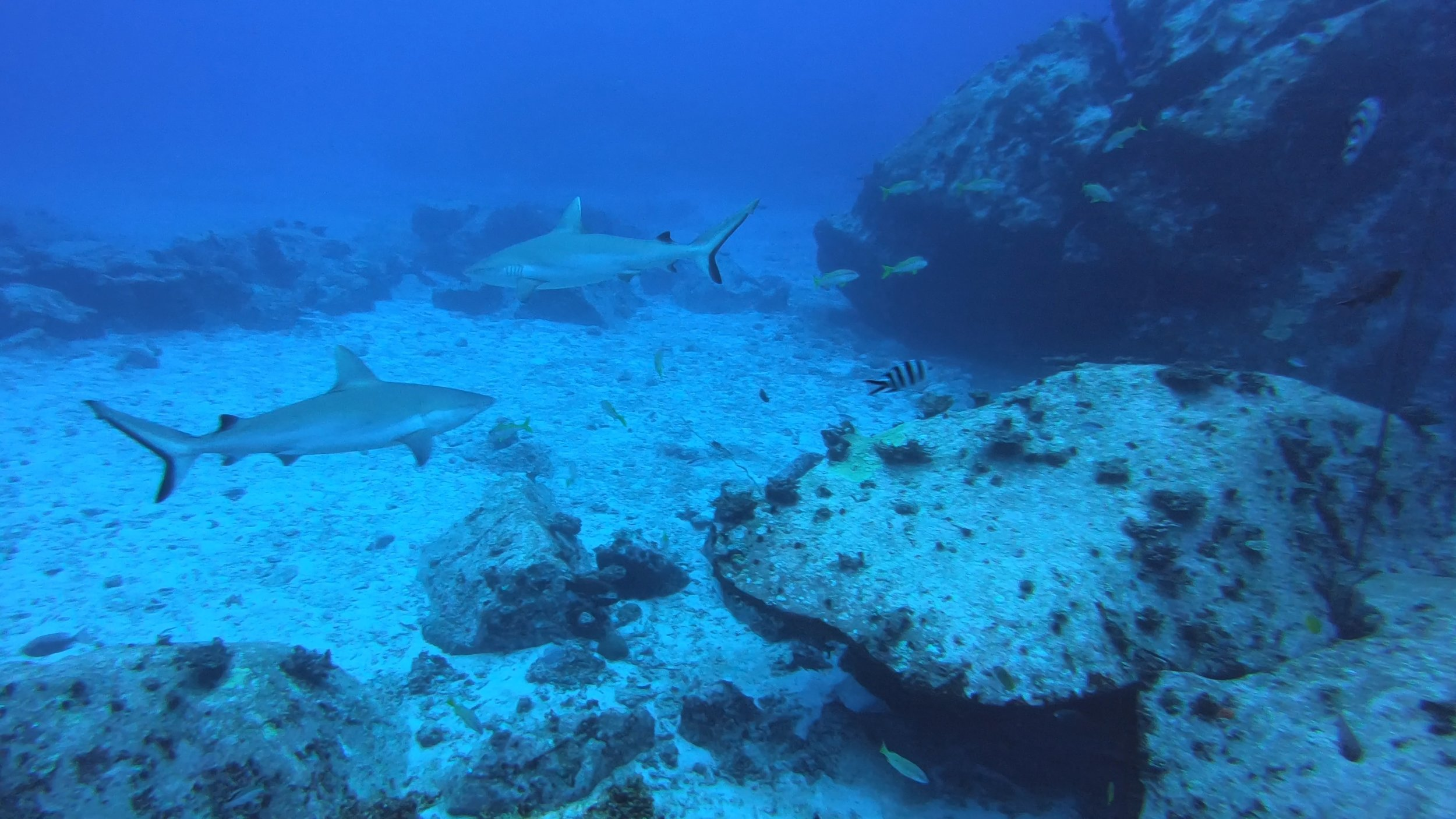 Grey Reef Sharks. There were six of them!