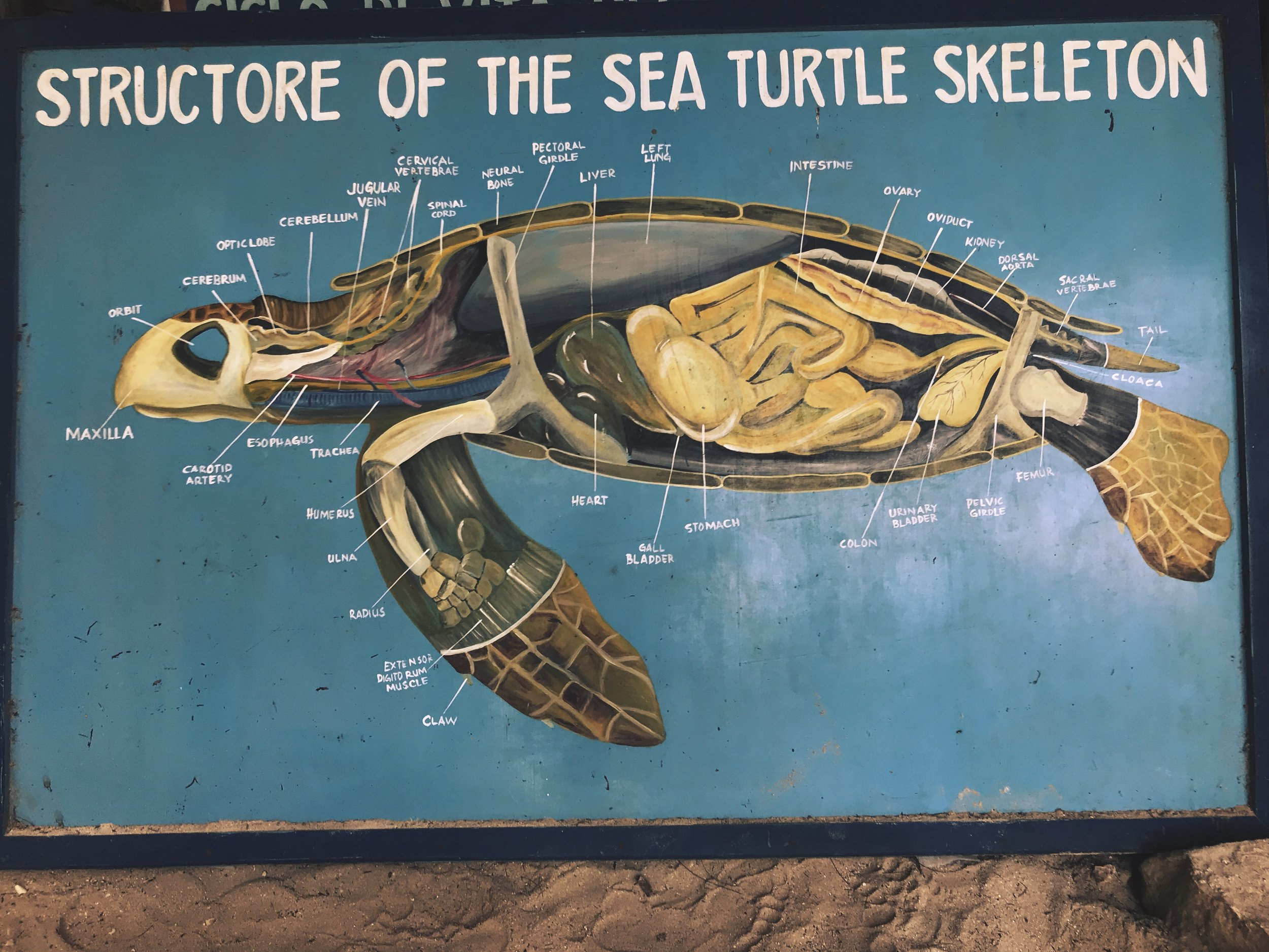 The anatomy of a sea turtle