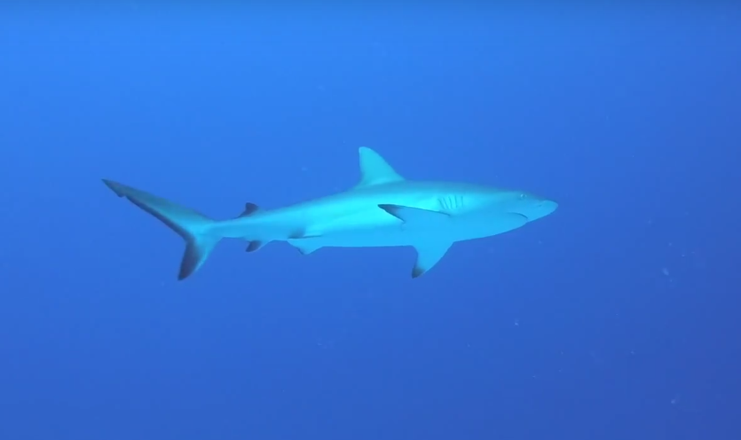 Copy of Grey Reef Shark