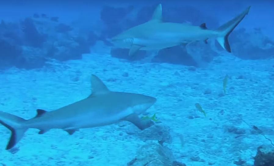 Grey Reef Sharks