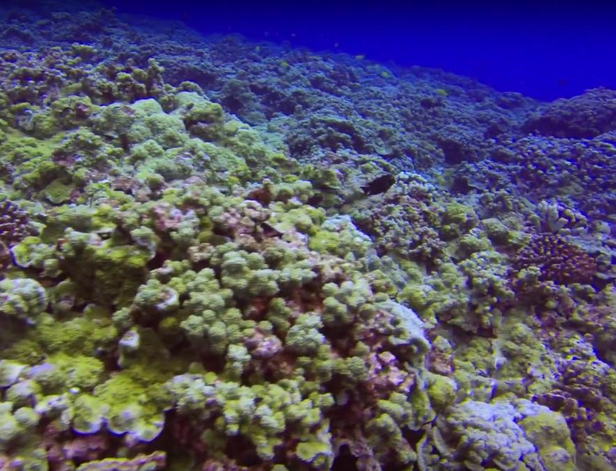 Bleach Tip Coral