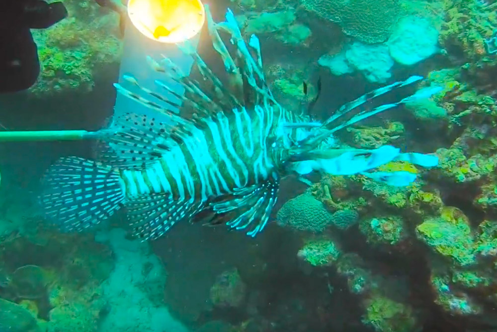 Spearfishing for Lionfish