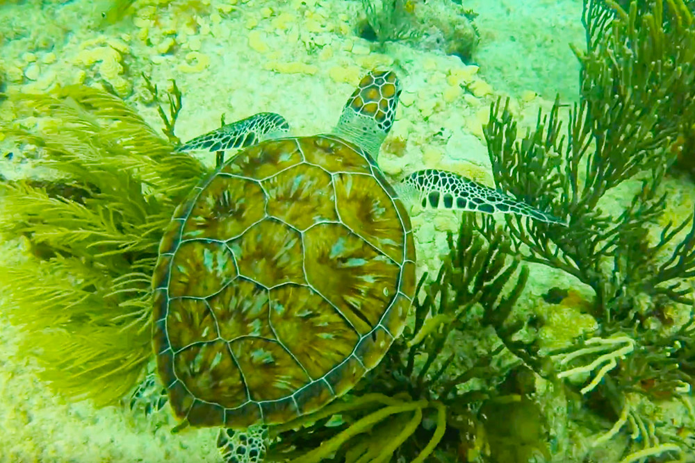 Playa del Carmen Sea Turtle