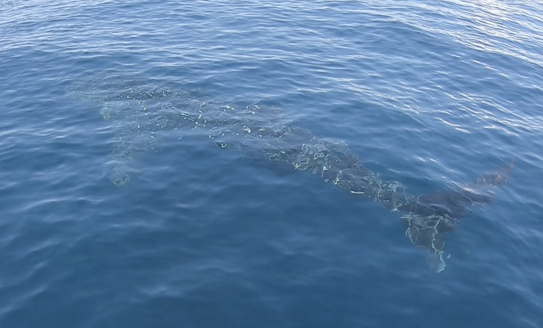 Young whale shark spotted in between dives!