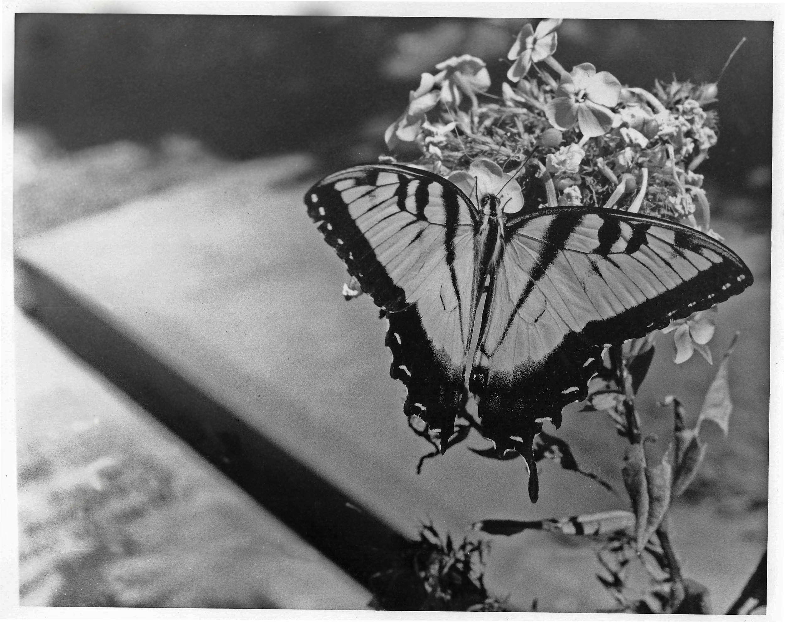 Spirited Away , 2012. Black and white film.  An Eastern Tiger Swallowtail butterfly pausing by a grave at Oakland Cemetery in Atlanta, Georgia.