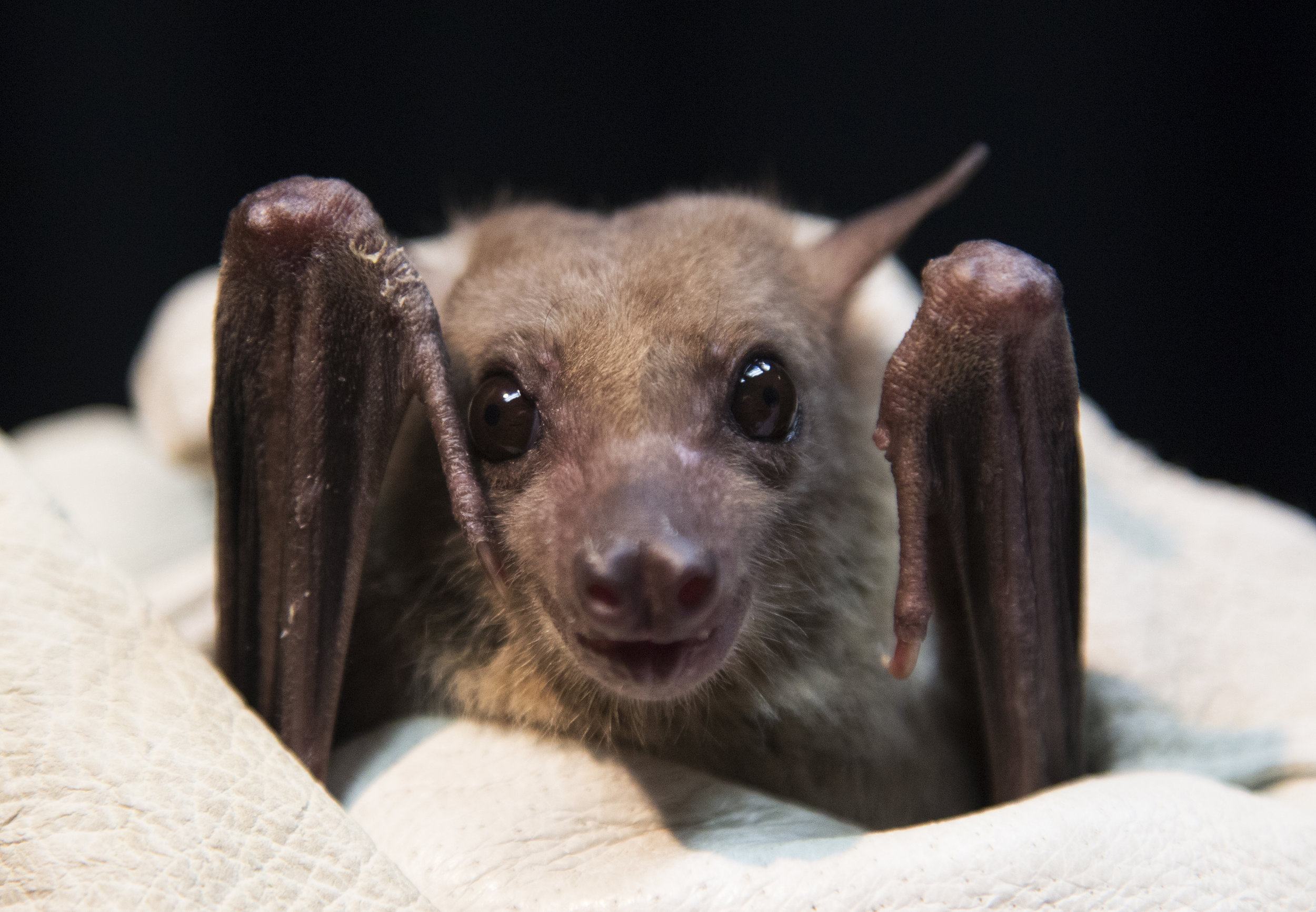 Egyptian Fruit bats roost in caves, but they were also found roosting in the passageways of the Pyramids of Giza when the tombs were opened in 1810. They weigh less than half a pound but have a wingspan of about 2 feet.
