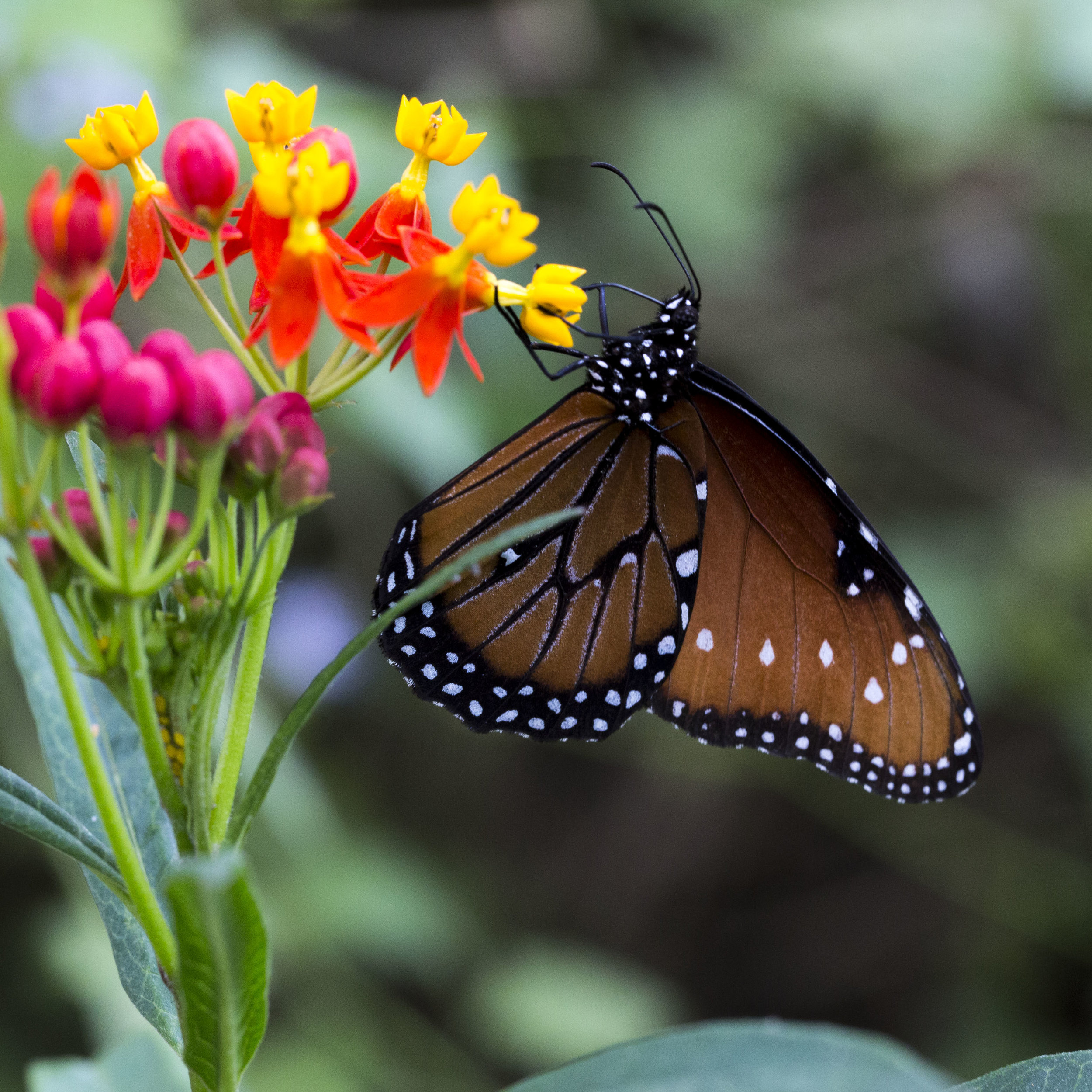 A queen butterfly sips nectar from a flower in the Lower Rio Grande Valley of Texas.