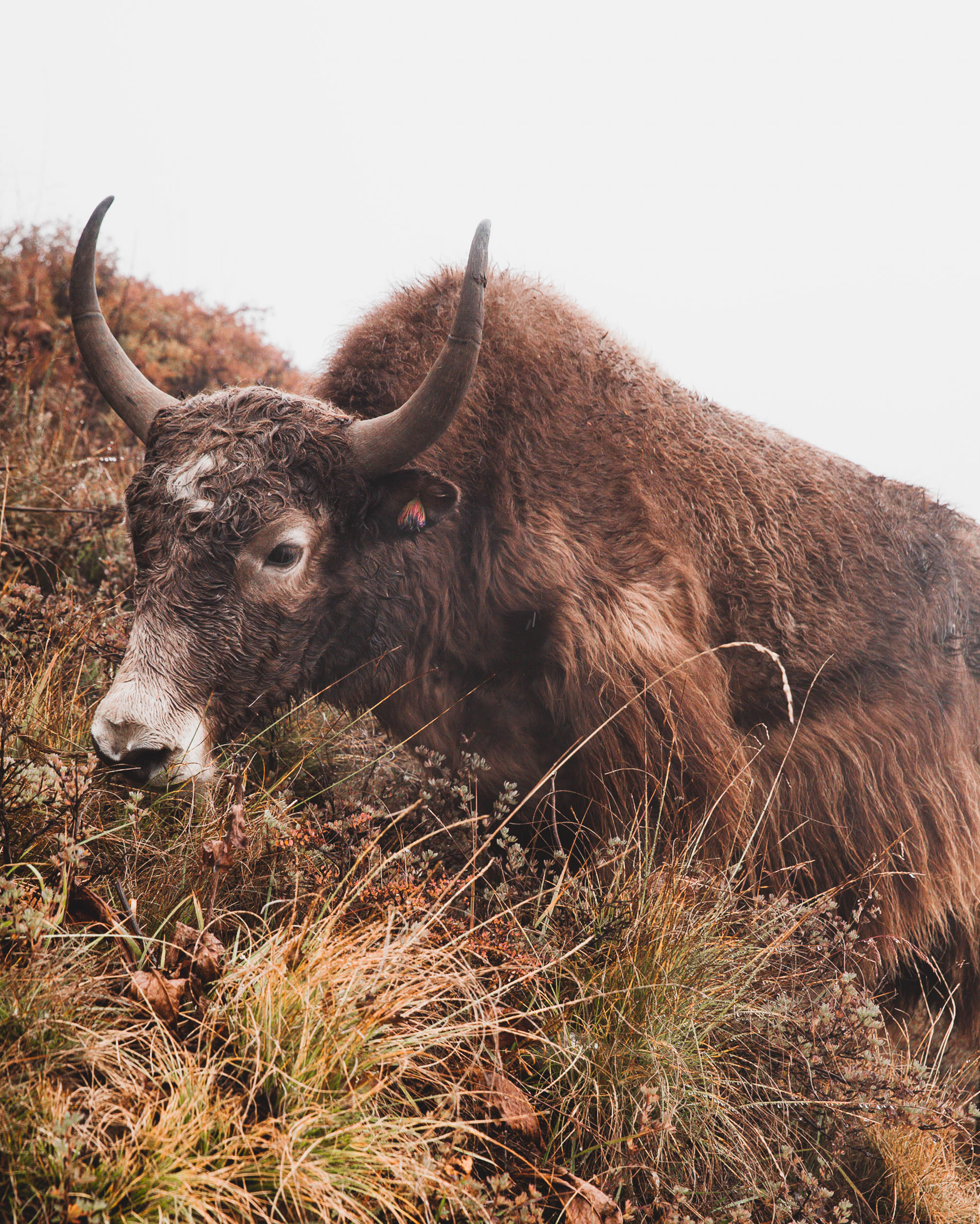 Yaks are common along the Annapurna Circuit. While generally peaceful, they are very large animals, and can make their size and presence known if threatened..