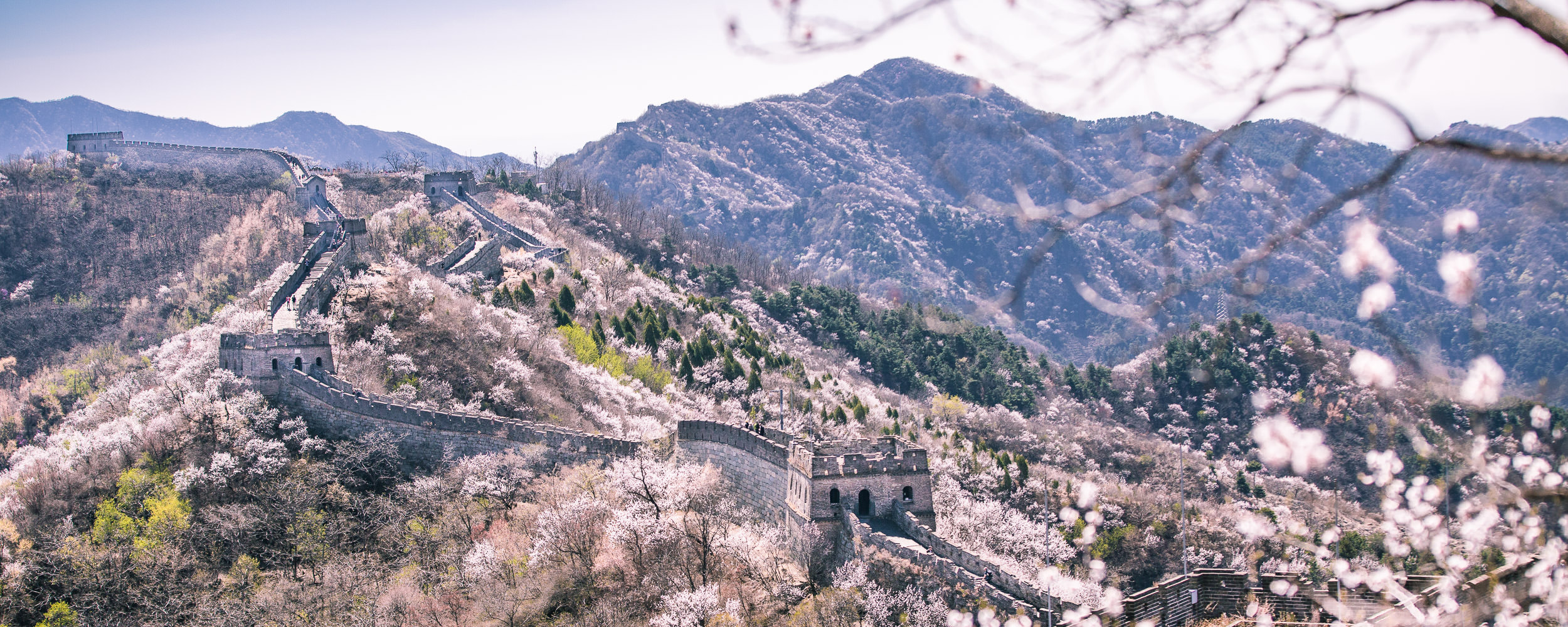 The Mutianyu segment of the Great Wall of China runs amidst apricot blossoms in early April.