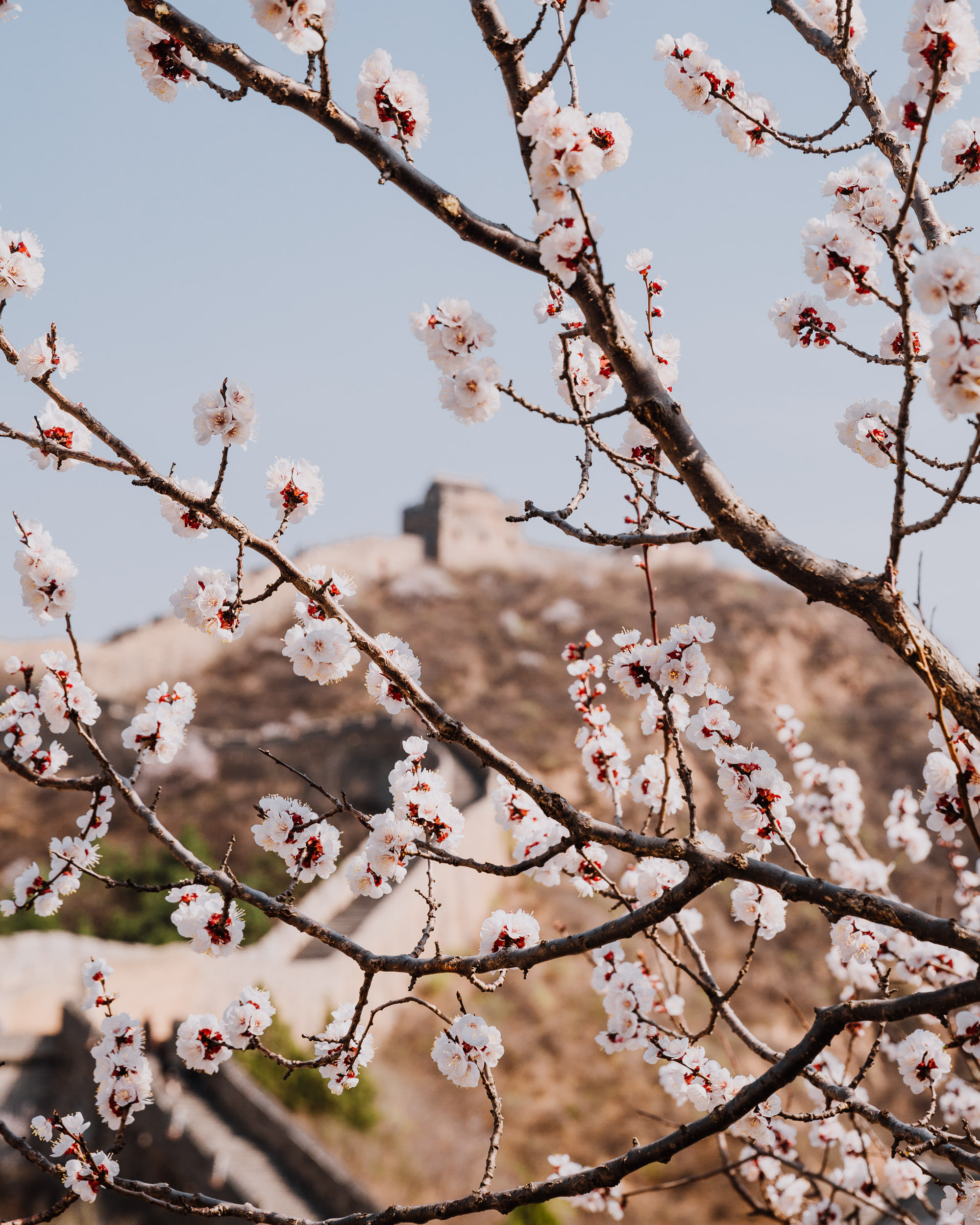Apricot_Blossoms_Overlooking_Great_Wall