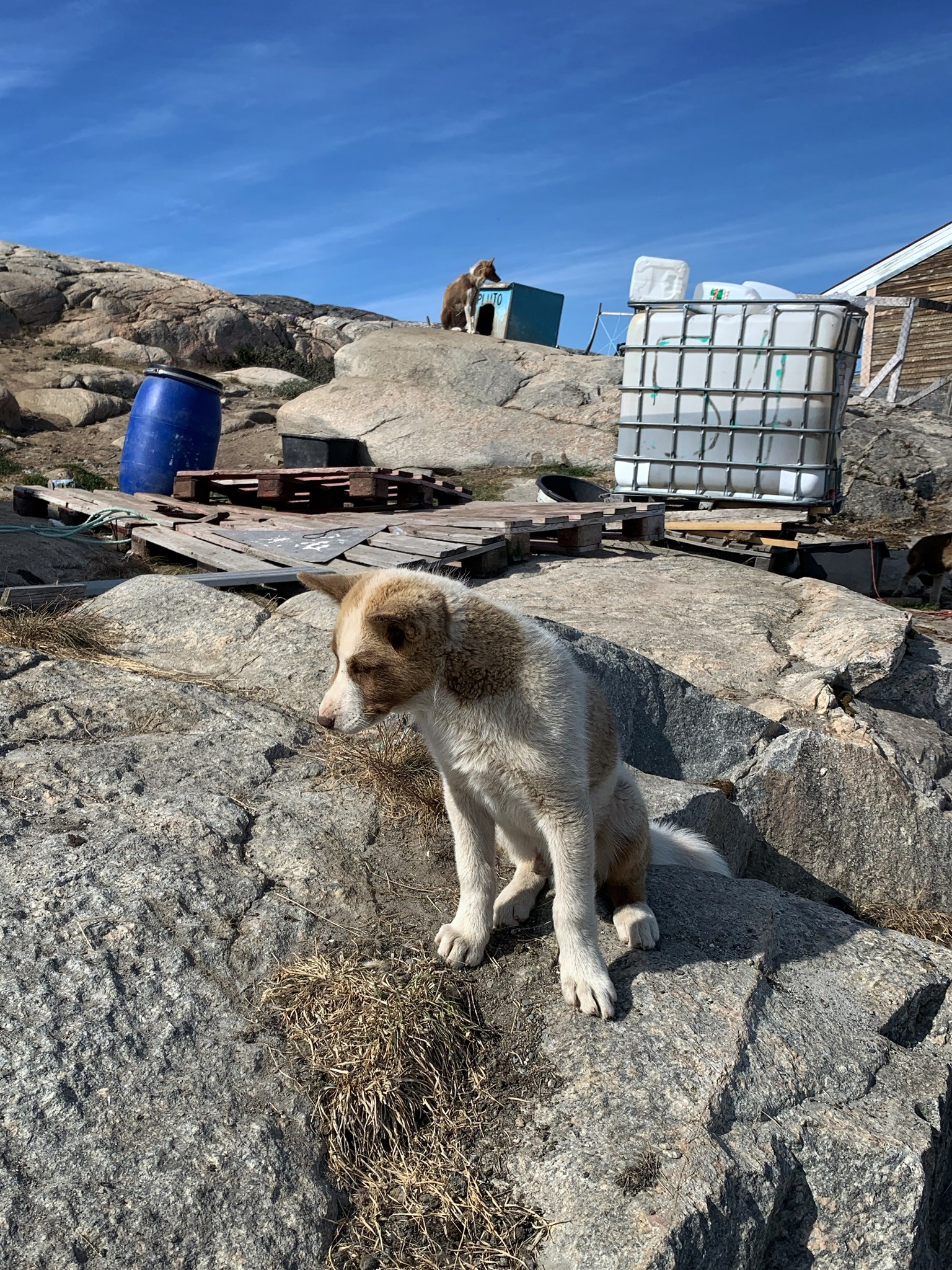 There are probably more sled dogs than people in Ilulissat.
