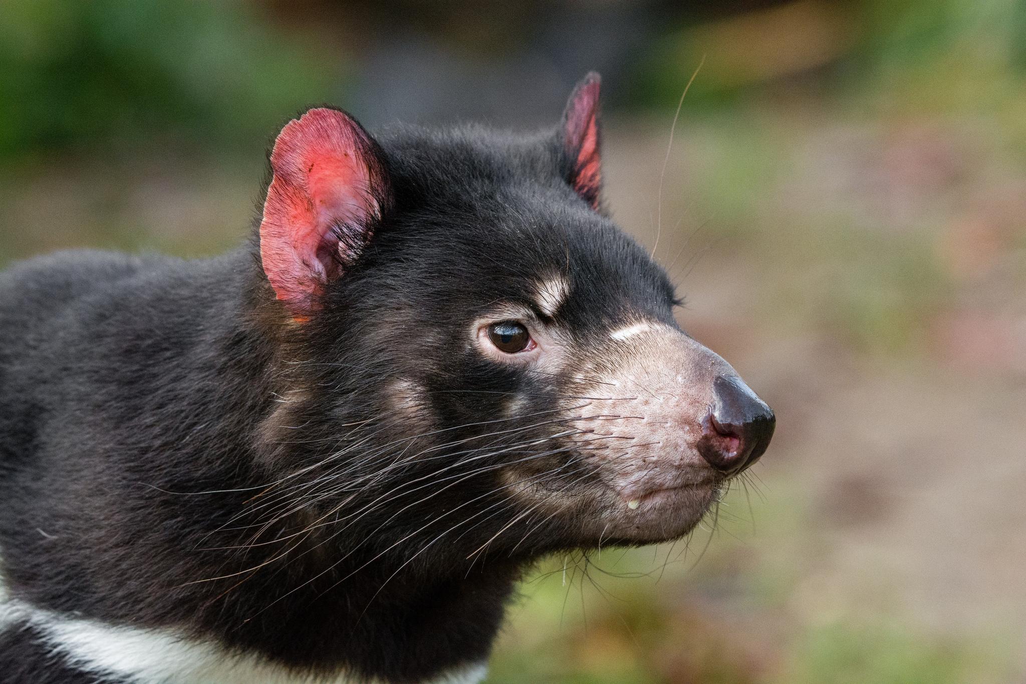 tasmanian_devil.jpg