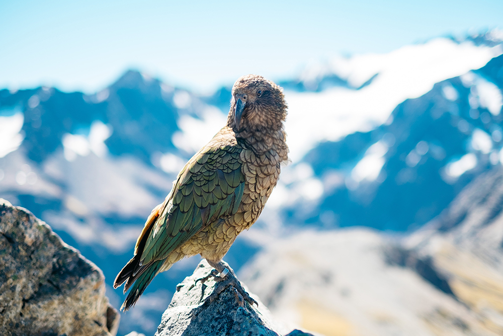 New Zealand is a nation of birds - you'll find the world's only alpine parrot, the Kea, here.