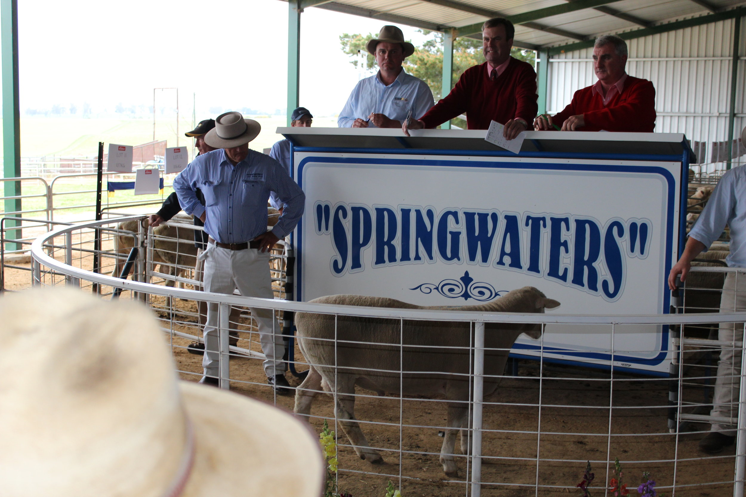 Springwaters Poll Dorset Sale