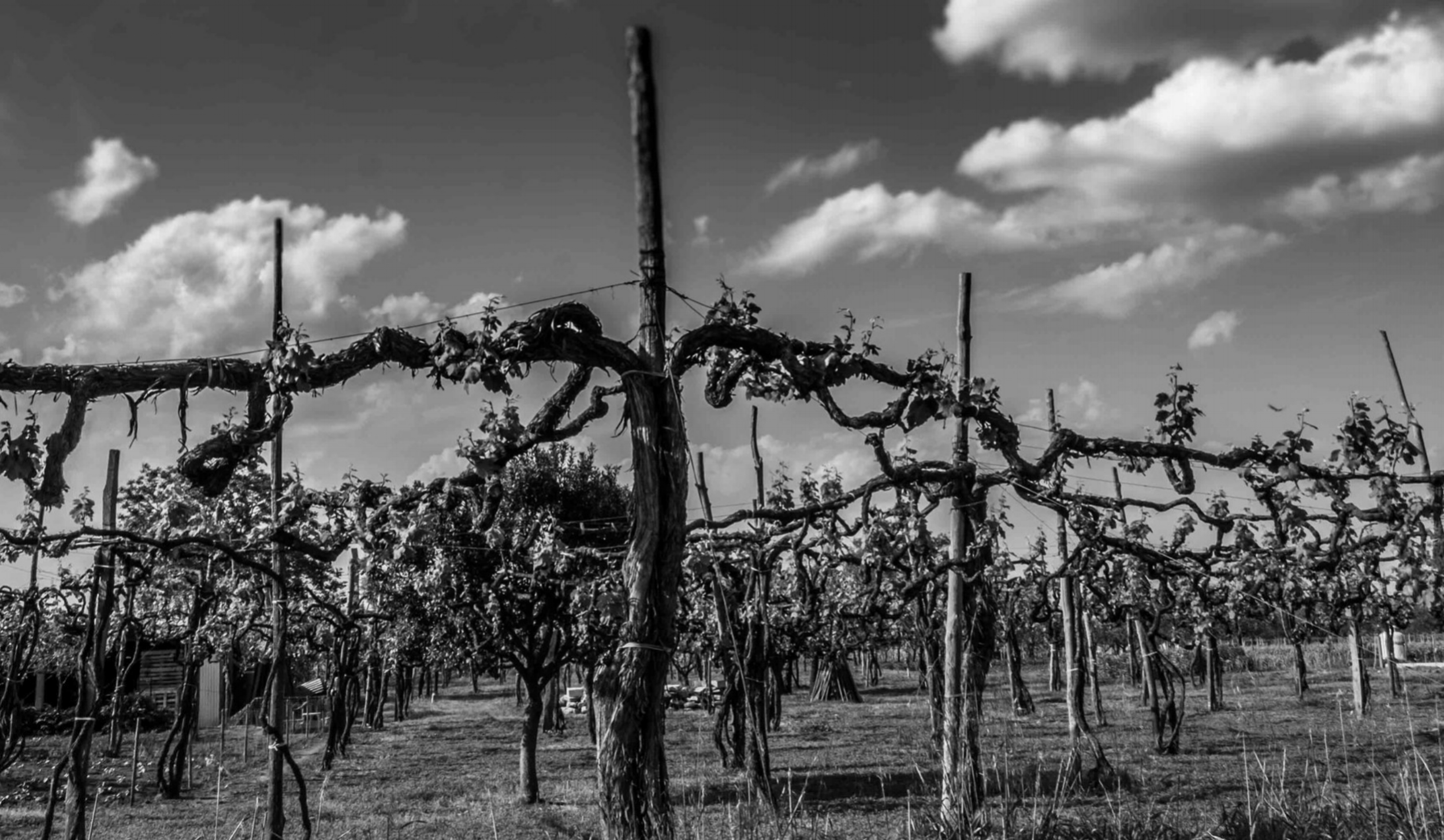 Ancient aglianico vine, Taurasi |  ©John Szabo (published by Jacqui Small)