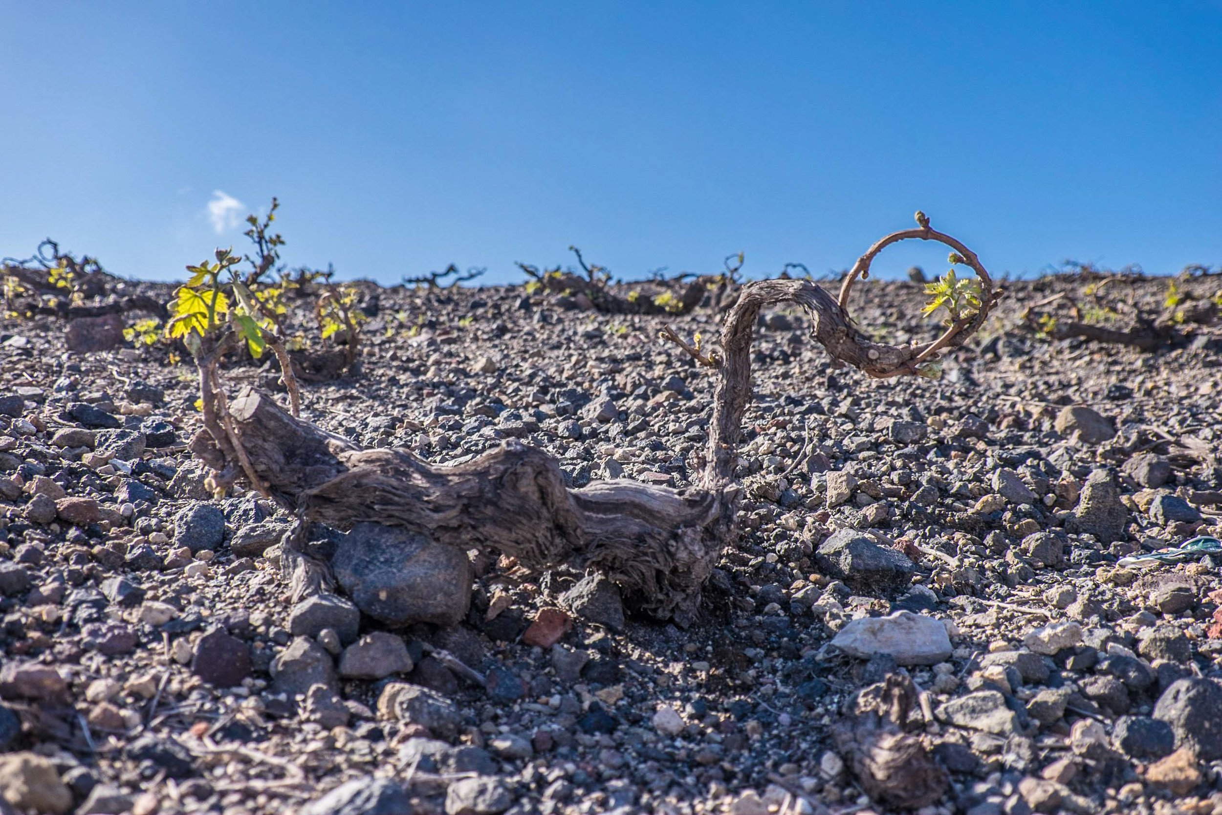 Stony soils, scraggly vine, Santorini | ©John Szabo (published by Jacqui Small)