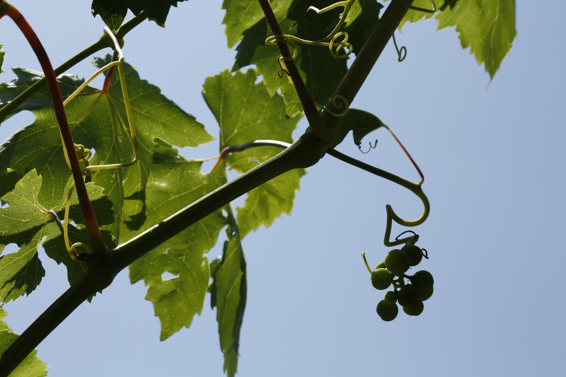 grapes-2171775_1920.jpg