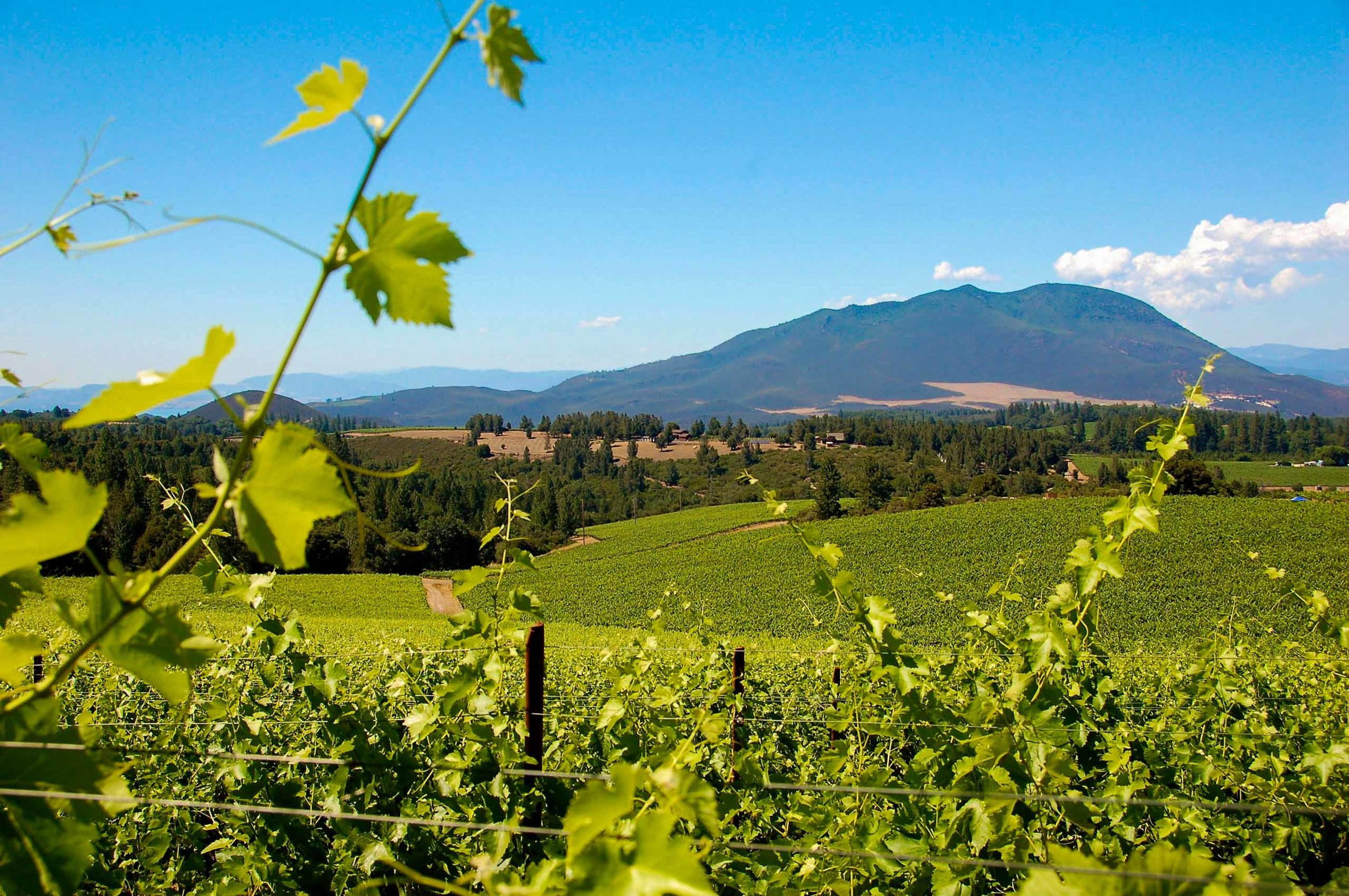 Obsidian Ridge Vineyard under Mt. Konocti-.jpg