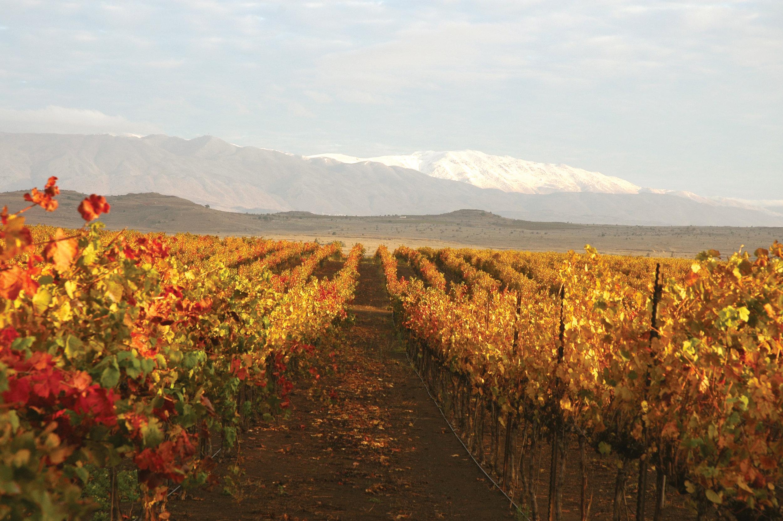 Yarden GHW Odem vineyards-fall 2008.jpg