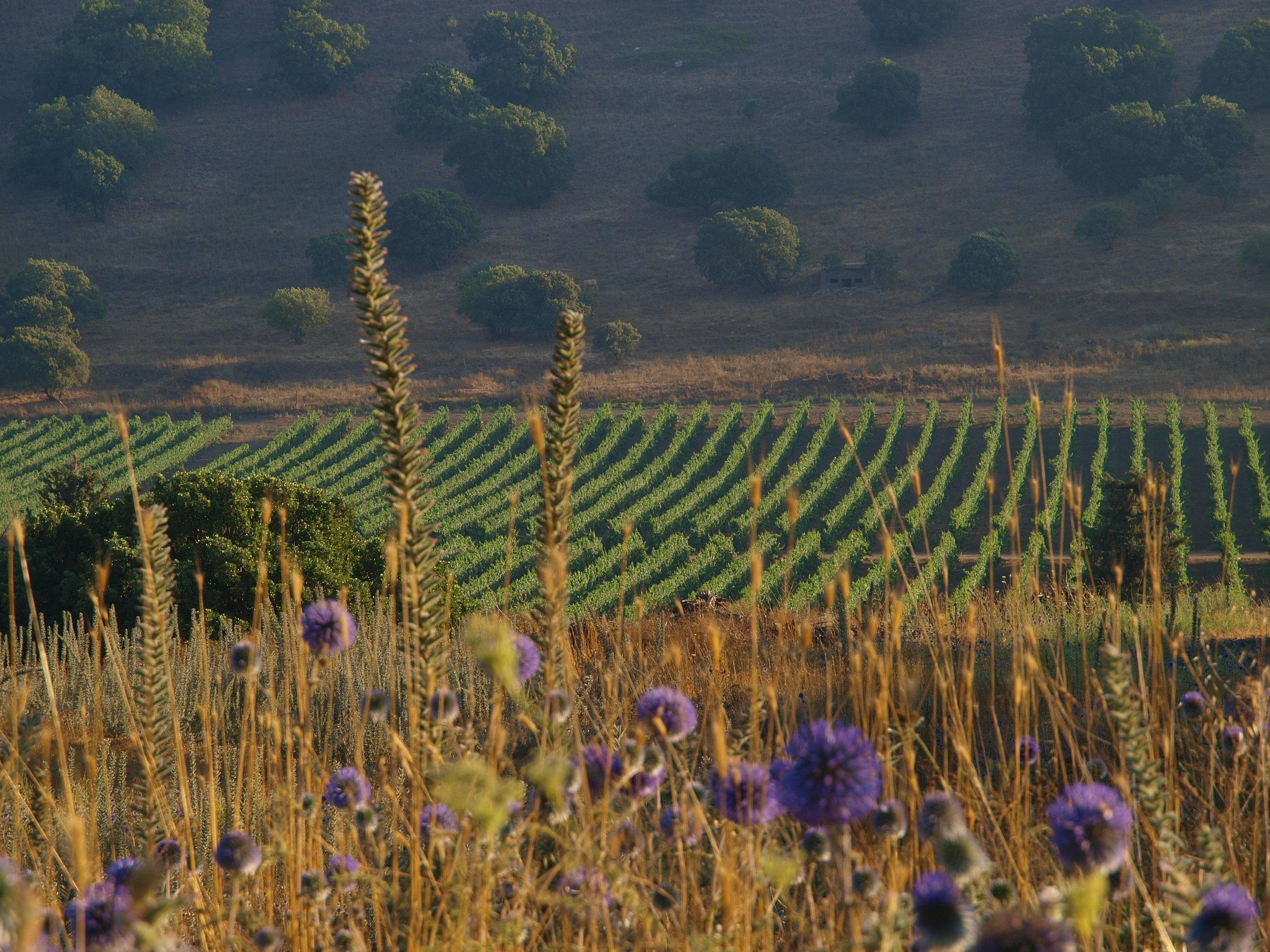 Yarden GHW Mt. Avital vineyards-Sumer 2008.jpg