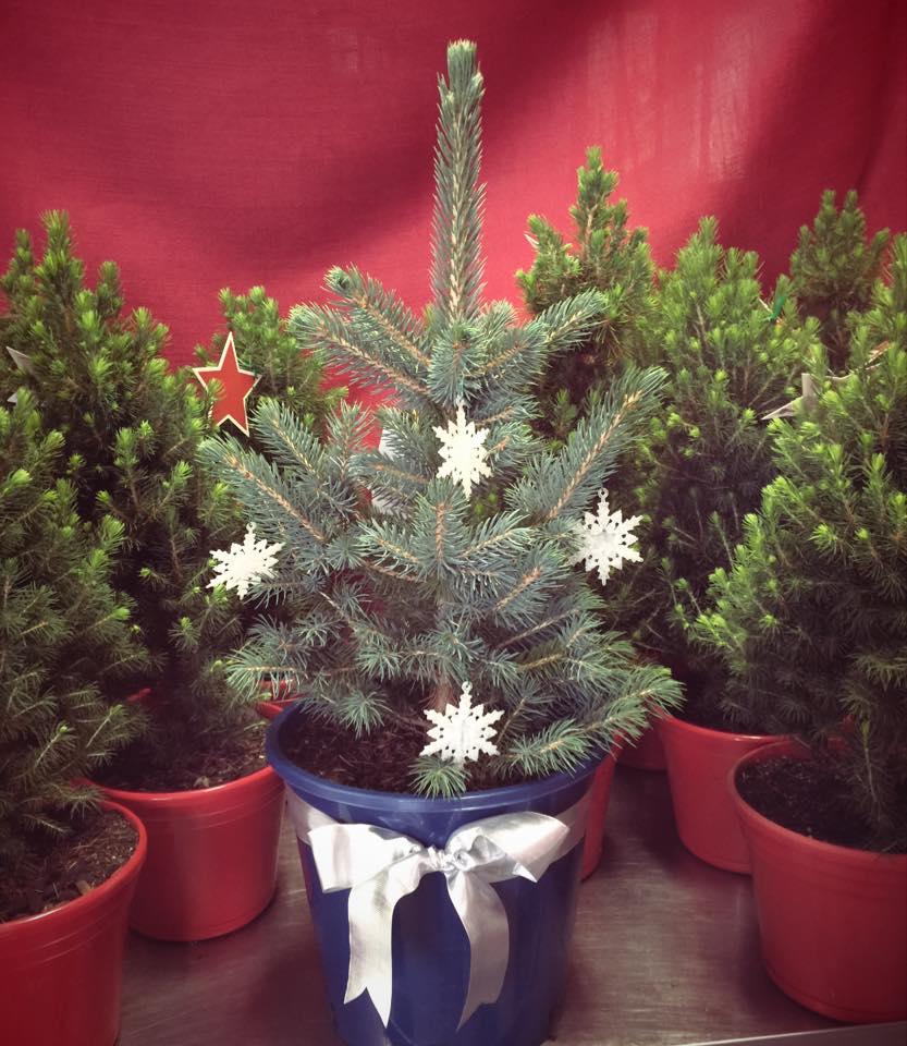 Plantable Christmas Tree.Live Potted Christmas Trees Merlino S Christmas Trees