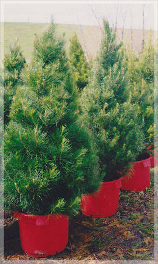 merlinos-monterey-live-potted-christmas-tree.jpg