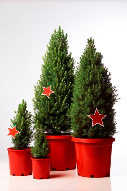 Potted Christmas Tree.Live Potted Christmas Trees Merlino S Christmas Trees
