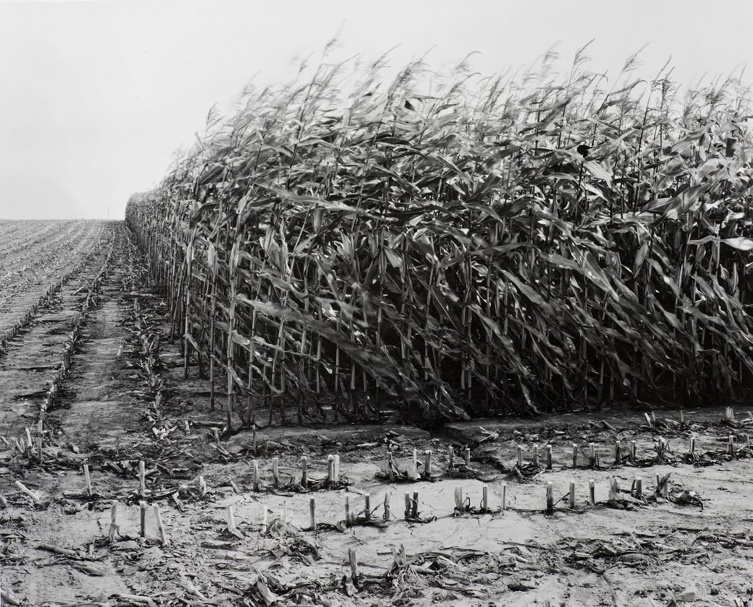 Maize Cutting at Serre 1997