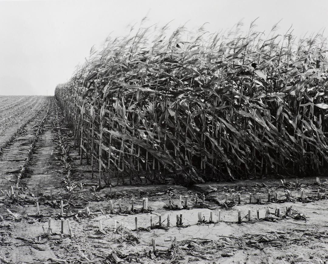 Maize Cutting Serre 1997, Peter Cattrell