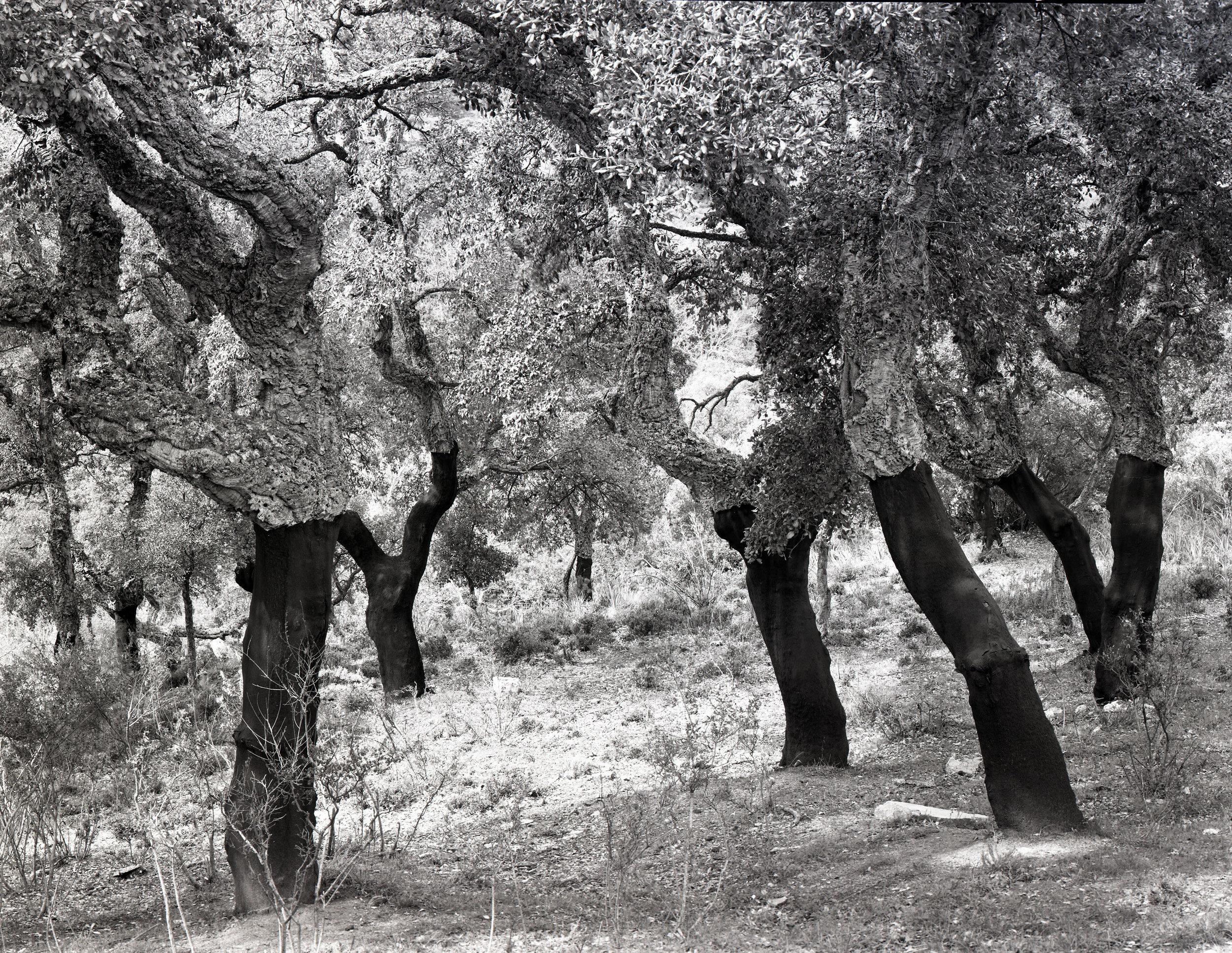 Cork trees, sardinia 816-C-1.jpg