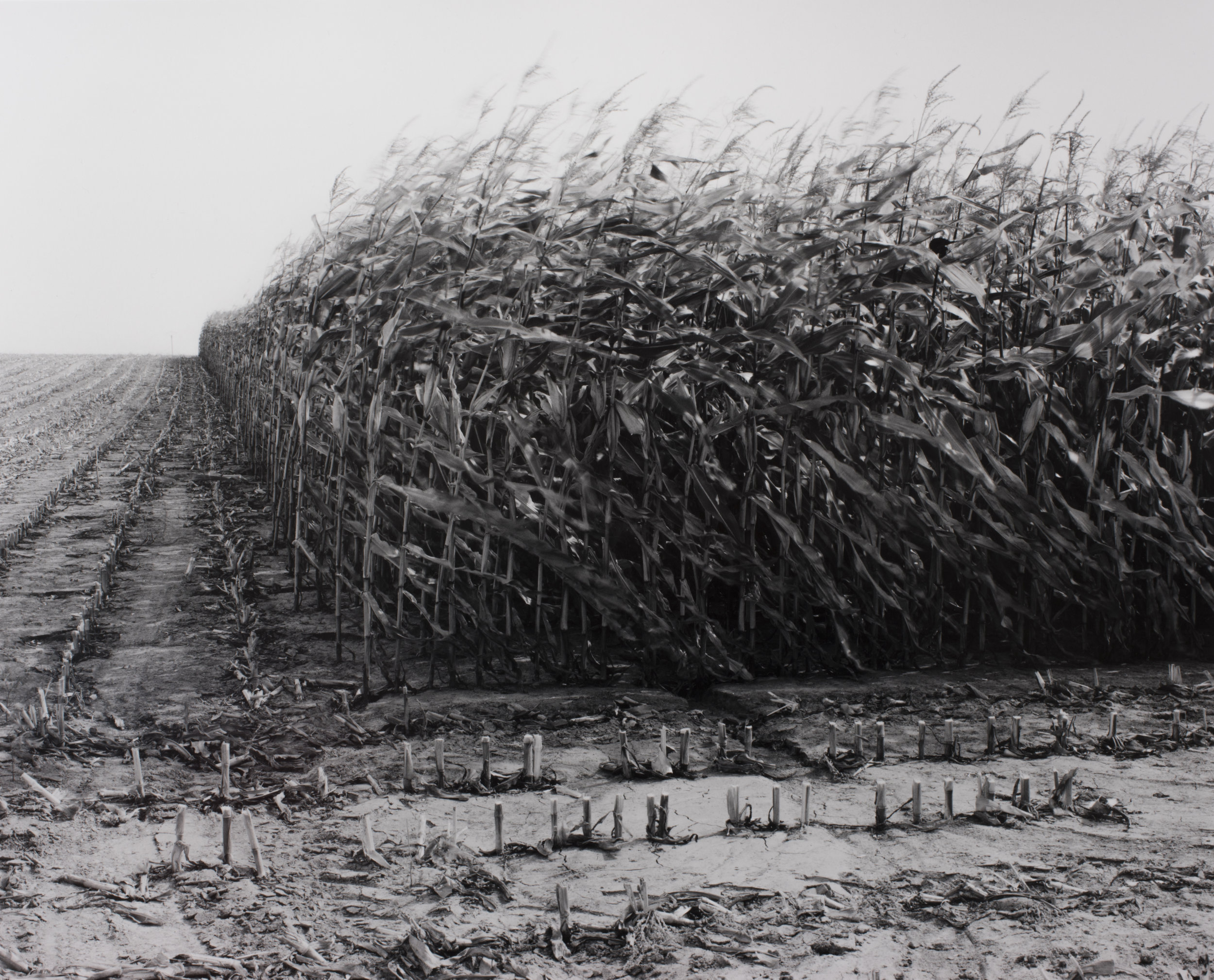 Maize Cutting Serre 1997 - Peter Cattrell