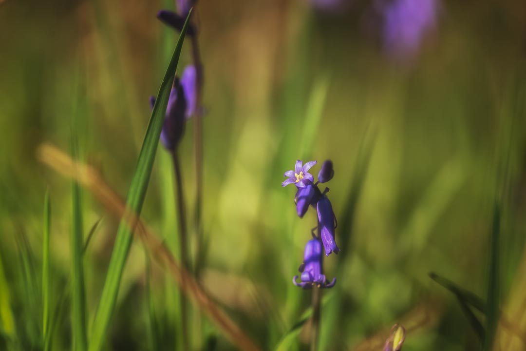 Spring Bluebells No 4
