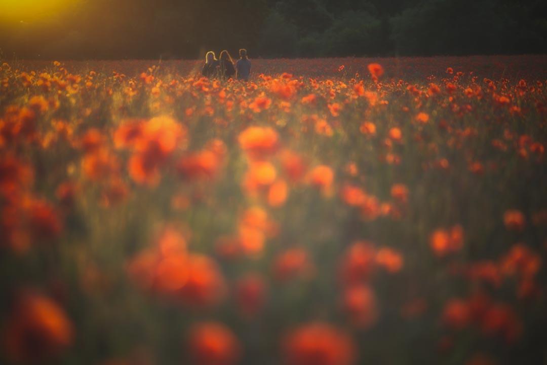 Churchill Poppies No 13