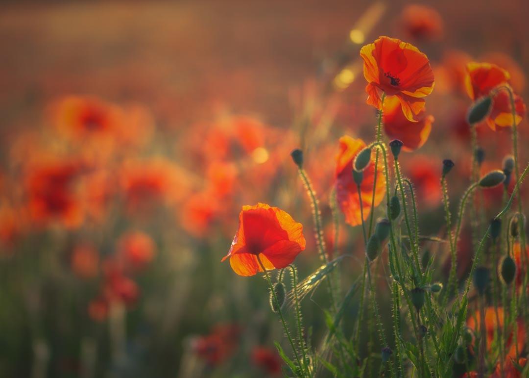 Churchill Poppies No 1
