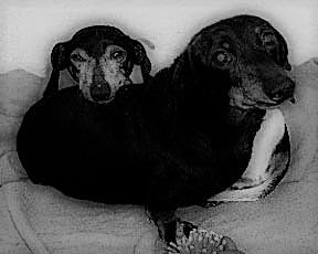 Edgar & Walden - Walden - 14-years-oldEdgar - 17-years-oldThese two came from a horrible puppy mill where they suffered untold horrors.Walden (the black one) had the softest fur of any dog I've ever had. He only loved me, never warmed up to anyone else.Edgar had a severe case of dementia, but was a sweet guy.