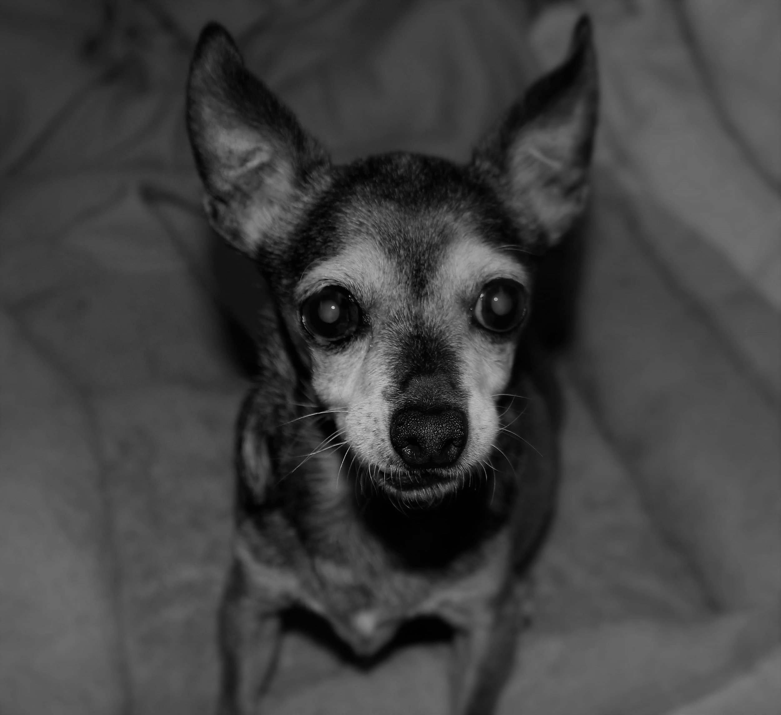 Estelle - 16-years-oldEstelle was a puppymill survivor. She was crazy.She was super high-strung and rarely left the bedroom.She was terrified of thunder.She is one of my all-time favorite dogs I've ever lived with.