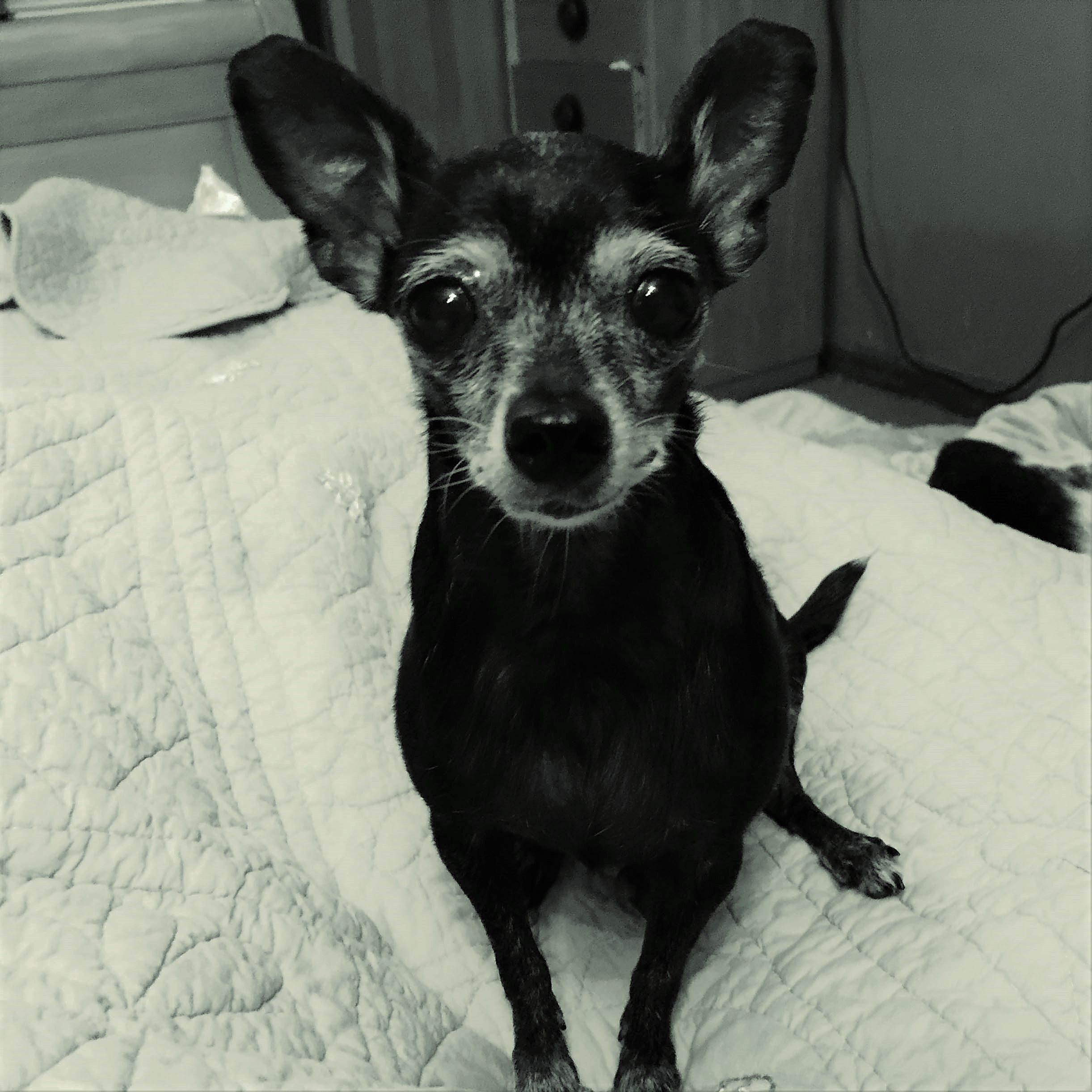 Ludi - 18-years-oldLudi was a three pound feisty little chi.She came to us with a huge mammary tumor.She loved to guard her food. She didn't like to eat nearly as much as guarding her food.She had a larger-than-life personality and is greatly missed.