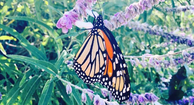 Monarch picture-2.jpg
