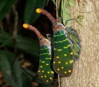 lanternfly-mating.jpg