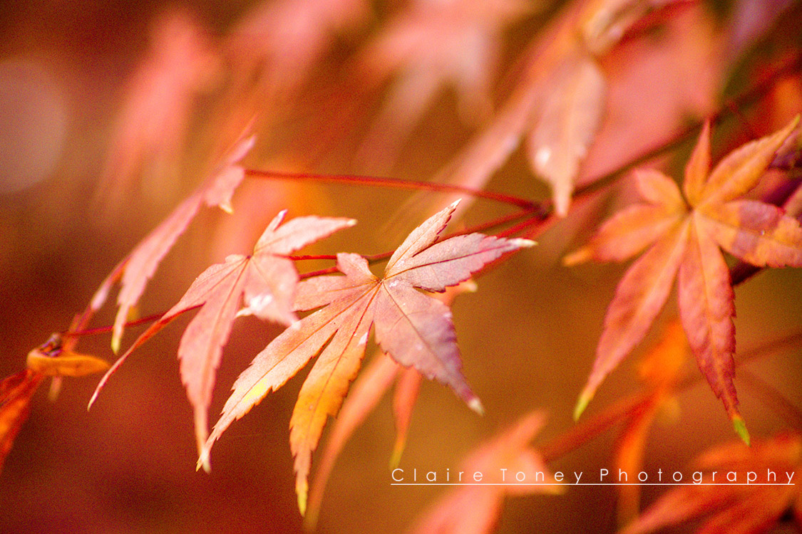 Japanese Fire Maple Leaves leaves in Northern California. Photo by Claire Toney Photography