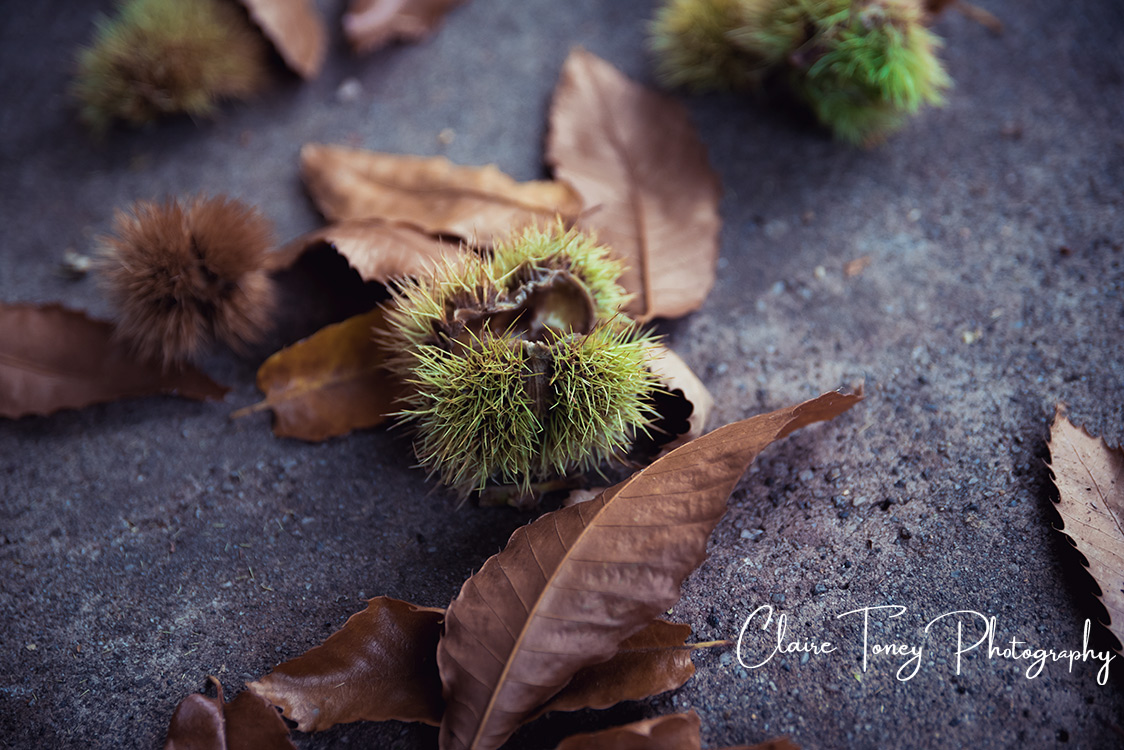 American Chestnut burr on the ground surrounded by brown leaves