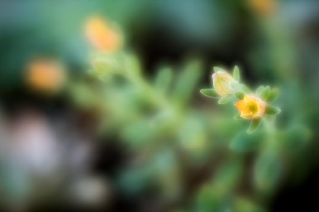 Flower at High Hand Farmer's Market taken with Lensbaby Velvet 56 Lens