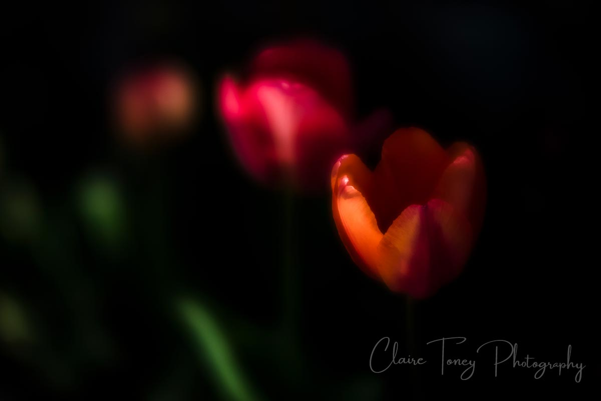 Glasslike tulips at the Ananda Retreat in Grass Valley CA