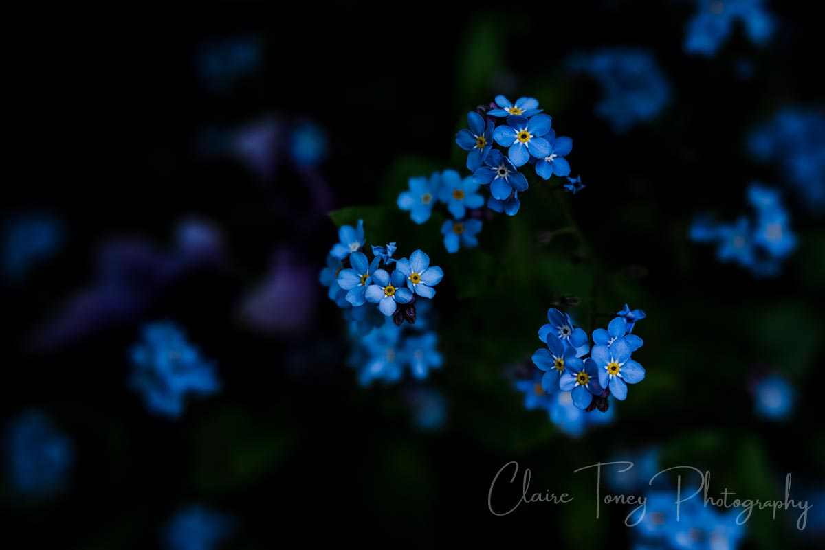 Forget-me-nots at the Crystal Hermitage