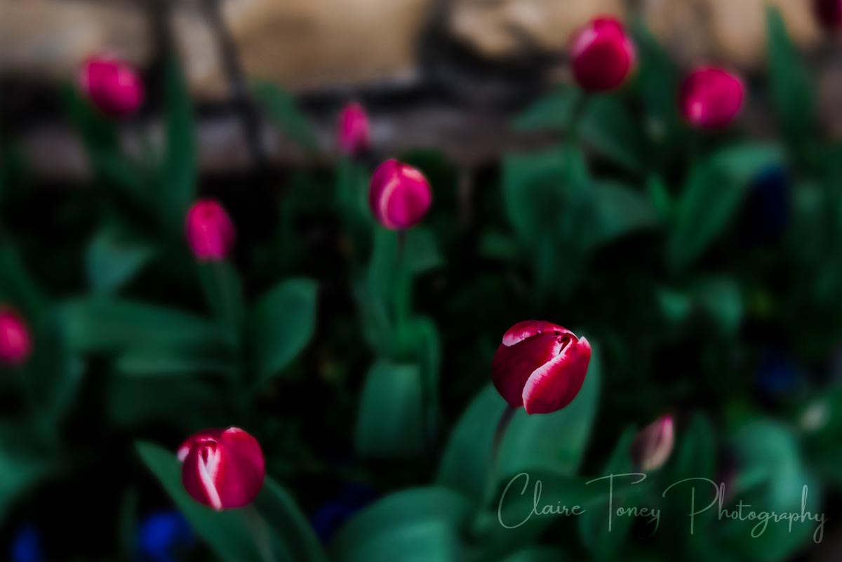 Beautiful red tulips at the Crystal Hermitate in the Ananda Retreat