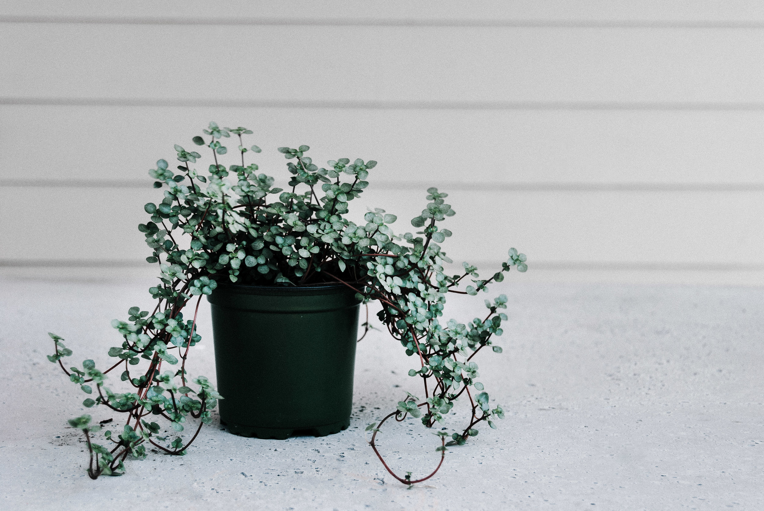 Silver sparkle pilea - houseplant care guide by Dusty Hegge